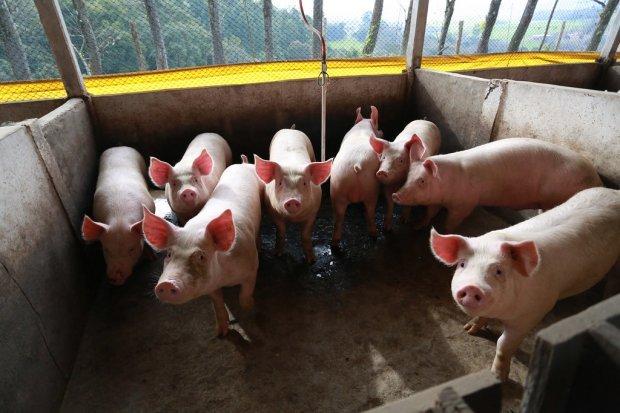 Santa Catarina bate recorde nas exportações de carne suína em setembro